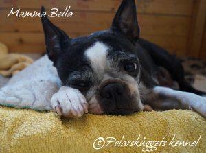 """Vår tik, Polarskäggets Bedårande Bella o mamma till """"Pricken"""" håller ett vakande öga över lille rackar´n som börjat rymma ur valplådan."""