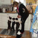 2011.tiggande hundar