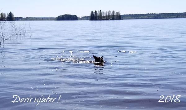 Doris älskar att simma, och hämtar med glädje apporten