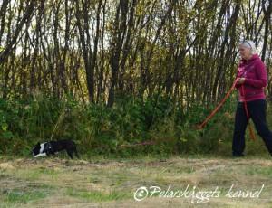 Flora jobbar på med sitt livs allra första viltspår. Det är inte lätt, men skam den som ger sej.